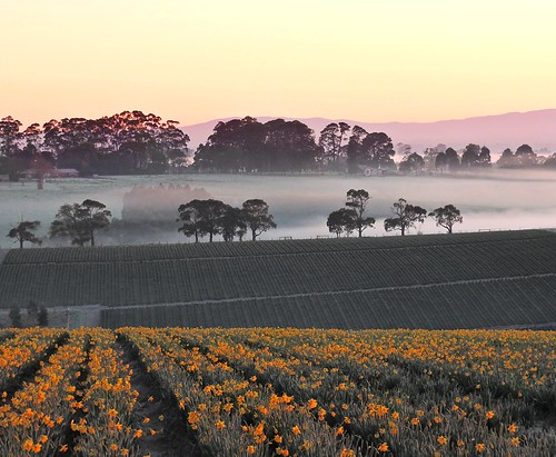 morning flowers winter mist cold weather misty fog sunrise landscape dawn nikon frost farm farming foggy australia frosty victoria daffodil layer vic layers icy horticulture daffodils gippsland layered p600 westgippsland nikoncoolpixp600 ellinbank phunnyfotos