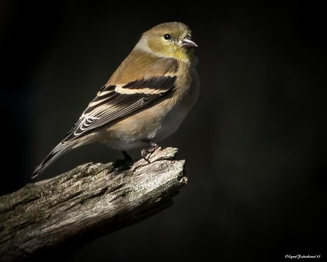 Goldfinch1-26a