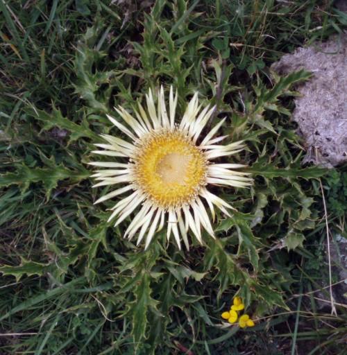 Carlina acanthifolia 5203777888_4353f2e755_o