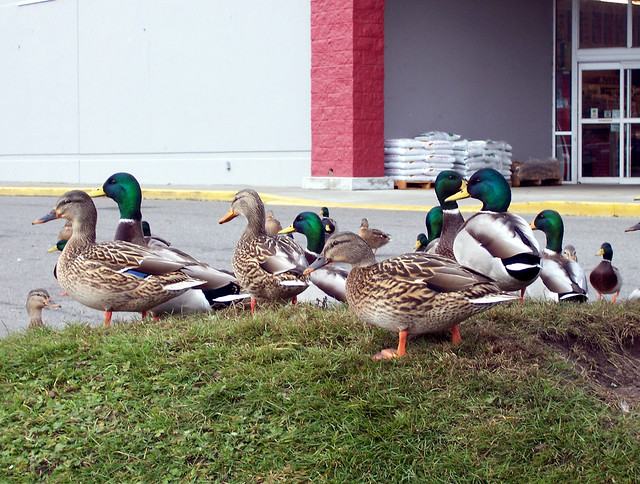 Ducks at Del's3
