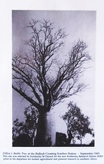 1945 Dillon's Bottle Tree - Kimberley Research Station