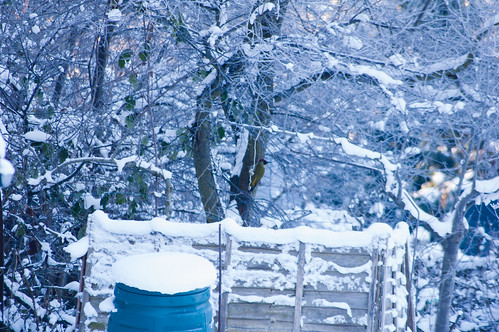 Woodpecker, snow