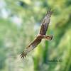 เหยี่ยวทุ่ง Eastern Marsh-Harrier by somchai@2008