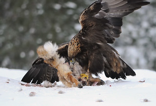 Golden Eagle | by mattisj