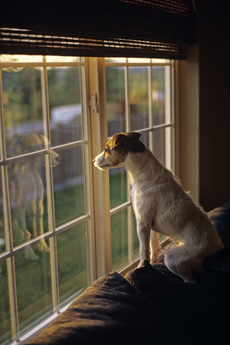 Jack Russell Terrier at window