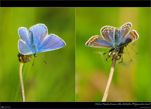 Male & Female Common Blue Butterflies