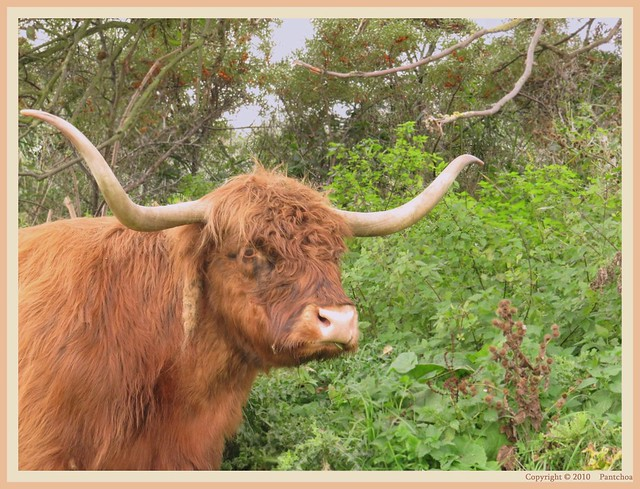 Zwin : Highlands saltings cows (4) - 11/22