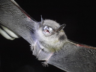 Little brown bat from Avery County with fungus on nose | by USFWS/Southeast