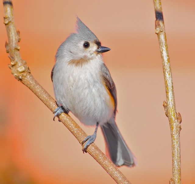 Tufted Titmouse on a sunny winter day