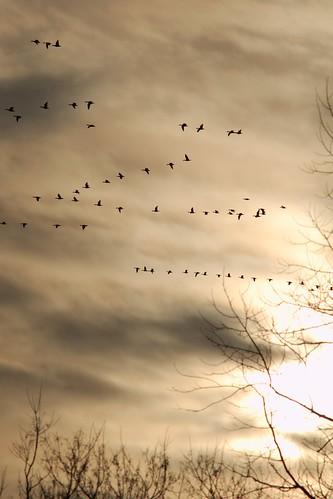 geese nikkor300mmf45