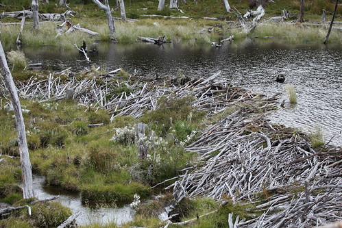 Beaver habitat in Tierra del Fuego National Park | by Liam Quinn