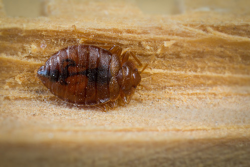 bed_bug_mike_lewis_01 | by Center for Invasive Species Research