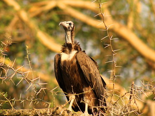 hooded vulture | by Bassel Abi Jummaa