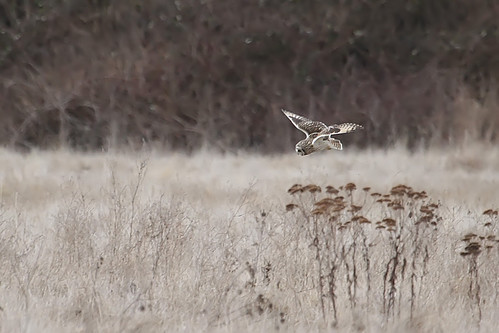 Short Eared Owl Hunting | by DragonSpeed