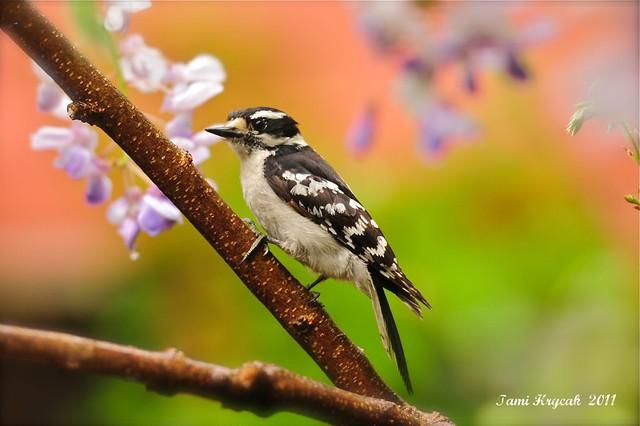 Spring Downy Woodpecker