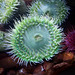 Flickr photo 'Giant Green Anemone (Anthopleura xanthogrammica)' by: K.P. McFarland.