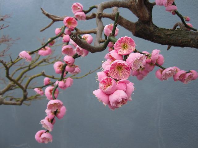 Prunus mume 'Bonita'
