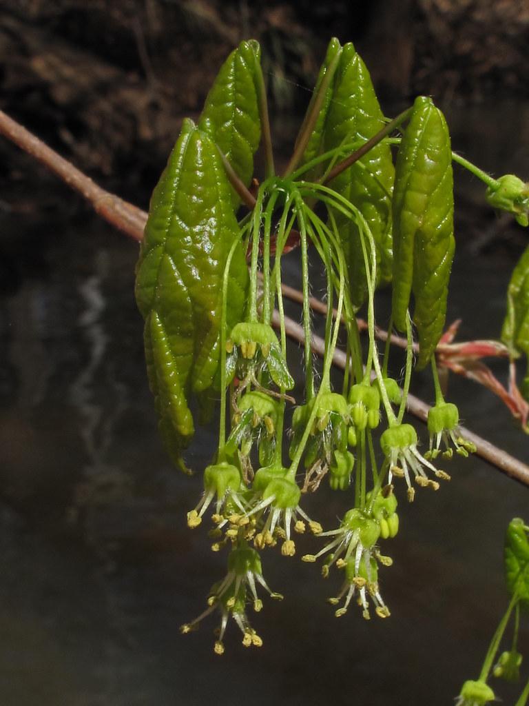 Acer Barbatum Lime Creek Floodplain Sumter County Georg Flickr