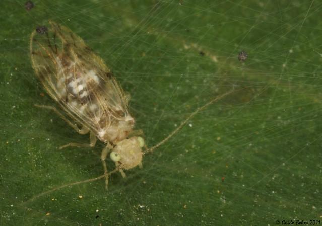 follicole False Lizard barklouse (Psocoptera: Pseudocaeciliidae) within its net