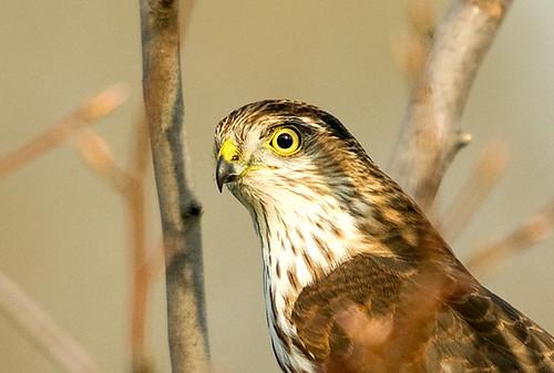 juvenile sharpshinnedhawk nbw