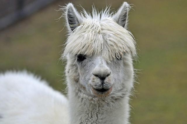 Alpaca (Vicugna pacos) - Bangs or no bangs?