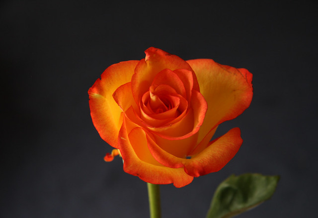 moods of a rose-luminous