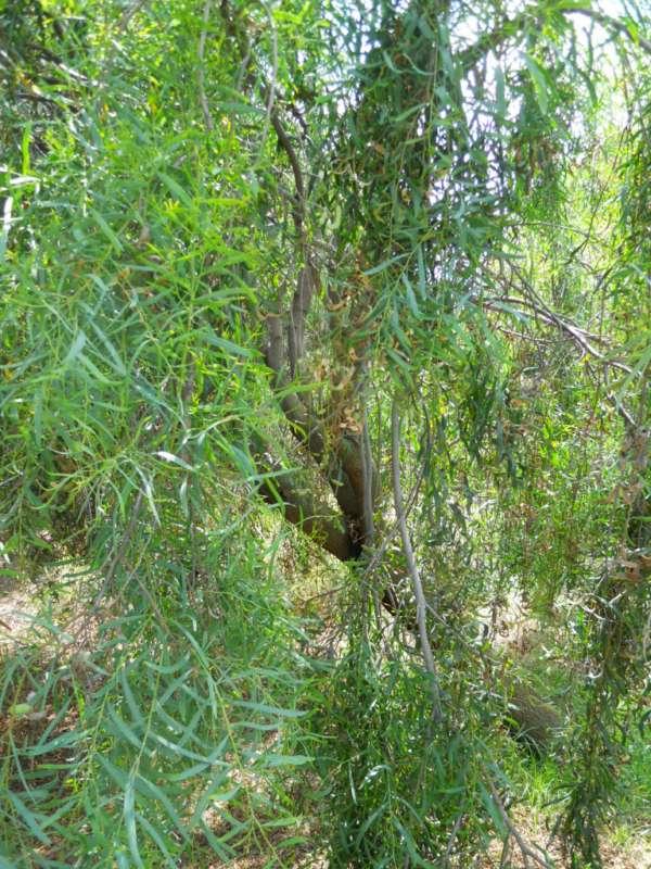 Acacia salicina v 1