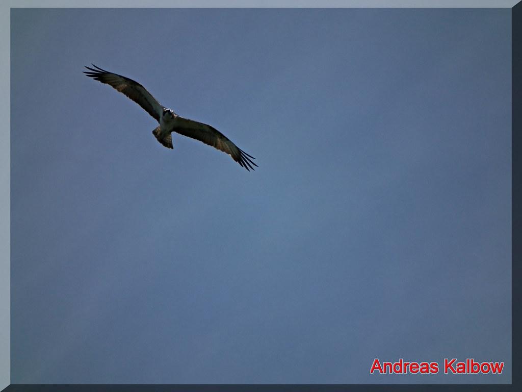Fischadler-53 | Fischadler Flugbild | Vogelfoto69 | Flickr