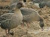 Pink-footed Goose orange legs, Amner - Shernborne (Norfolk), 11-Jan-11 by Dave Appleton