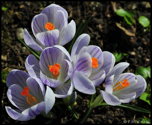 Krokusse in der Frühlingssonne