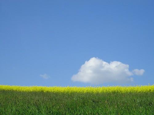 Rapsfeld (Brassica napus) | by blumenbiene