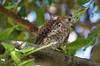 Mauritius Kestrel (Falco punctatus) by jmittermeier