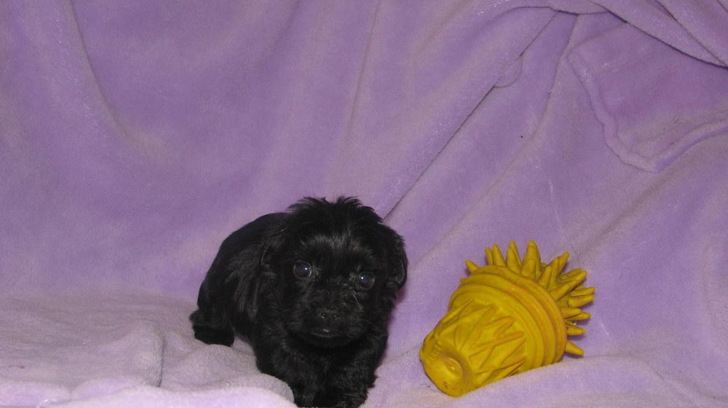 Teacup Yorkiepoo Puppy at 6 weeksTeacup Yorkiepoo Puppy at