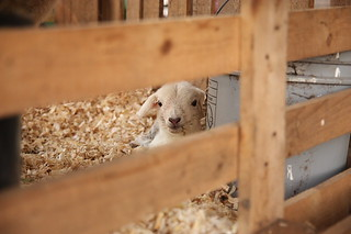 lambs2   by Darby's Pictures
