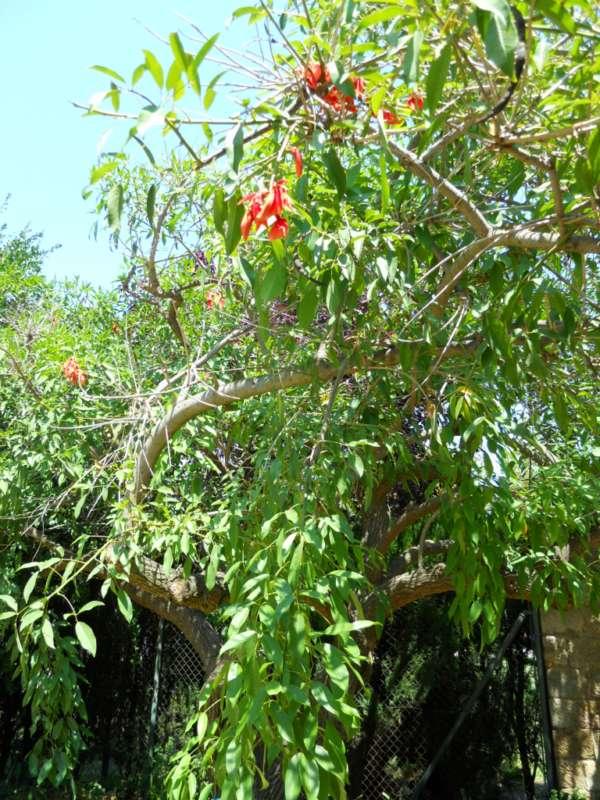 Erythrina crista galli L. v 2