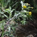 Flickr photo 'Senecio vulgaris (48°10' N 16°29' E)' by: HermannFalkner/sokol.