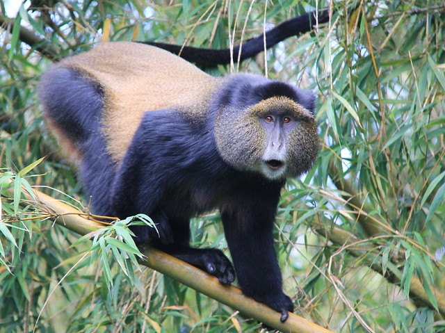 Rwanda - Volcanoes National Park, golden monkey