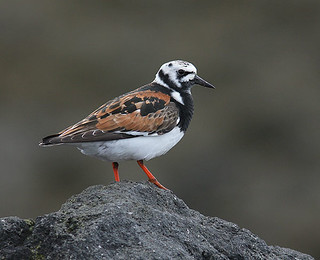 Tildra-Turnstone-Arenaria interpres | by sigmundurasgeirsson