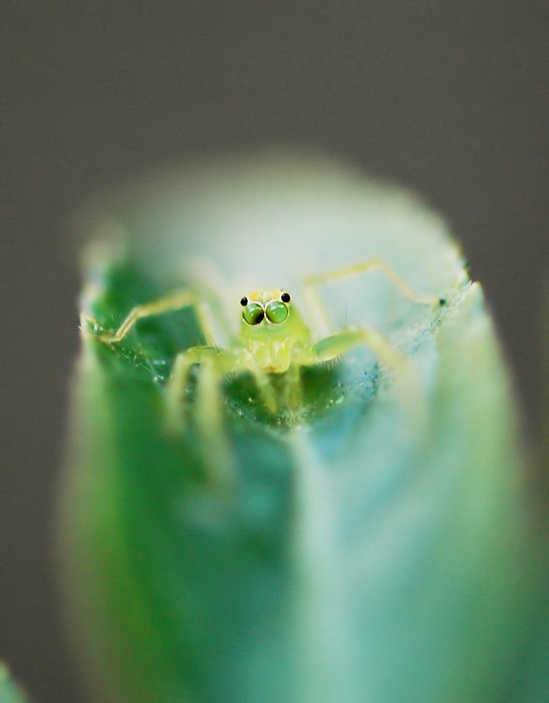 tiny green spider