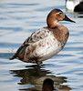 Canvasback by dermoidhome