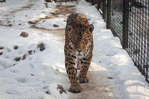 Leopard in the snow | by Leszek.Leszczynski