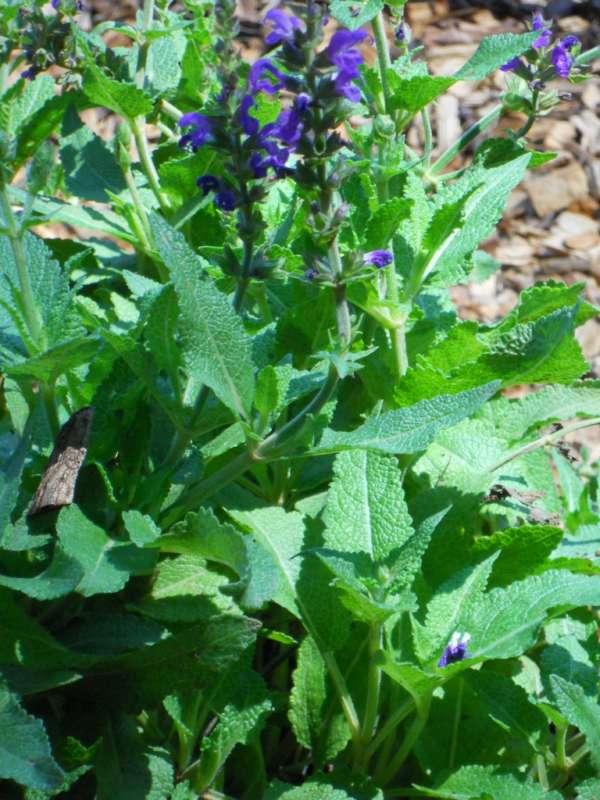 Salvia x sylvestris v 2
