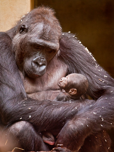 Mother gorilla with baby | by Tambako the Jaguar