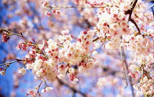 Cherry Blossom | by mrhayata