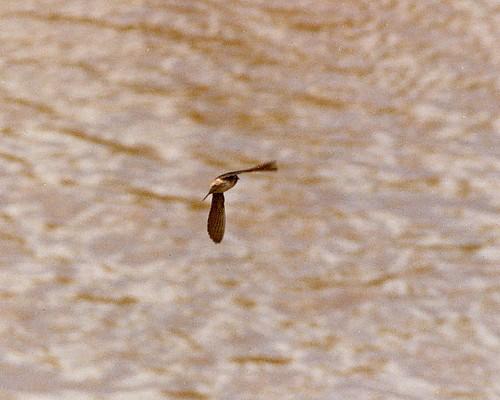 geotagged reddingca cliffswallow petrochelidonpyrrhonota pentaxsp1000 soligor200mmƒ35