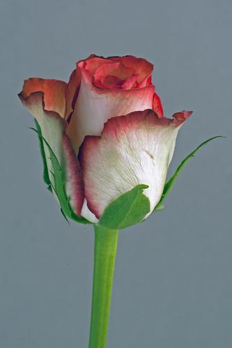 macro rose eos petals mk impressedbeauty flowersarebeautiful natureselegantshots flickrflorescloseupmacros absolutelyperrrfect naturesgreenpeace thegalleryofflowerseffe silveramazingdetails allnaturesparadise