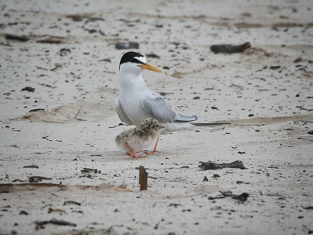 I found my mum... Little tern & chick.