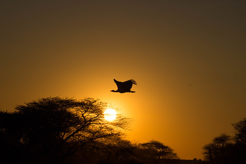 Sunset kori bustard | by rhombitruncated