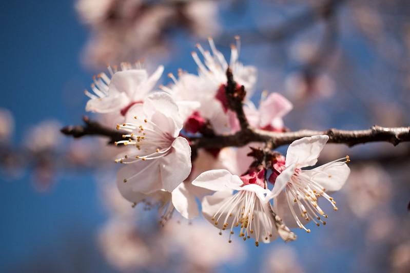 三毳山公園の桜