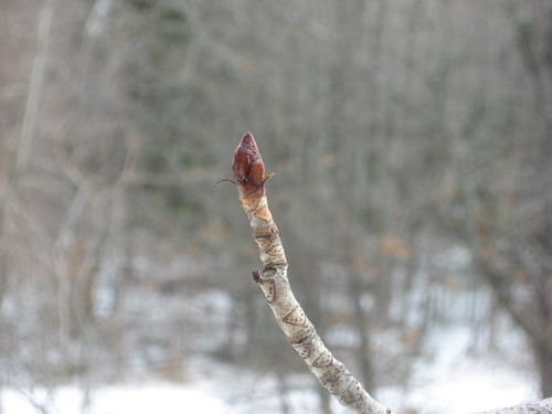 Horse Chestnut terminal bud in winter | by Shaun C. Williams